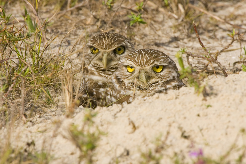 挖洞猫头鹰对 免版税库存照片