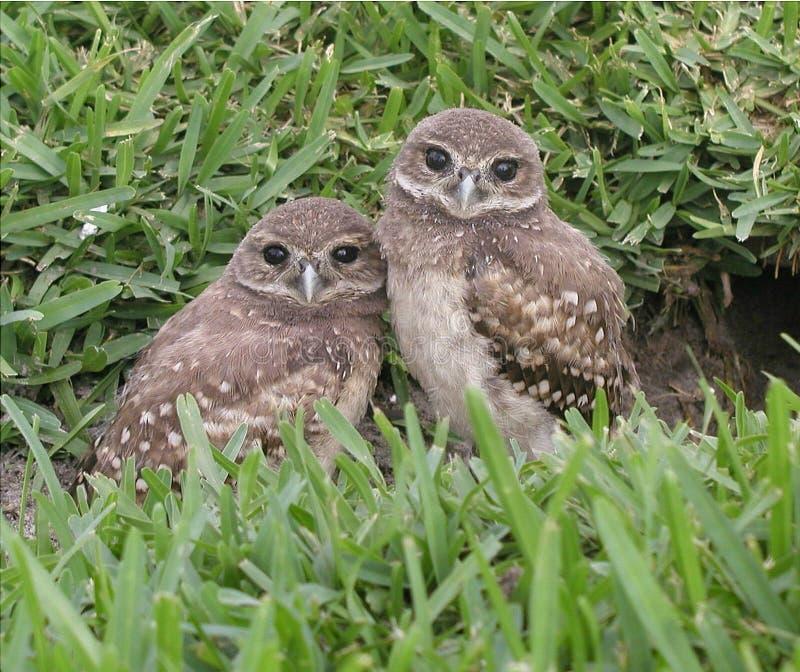 挖洞猫头鹰的babys 库存照片