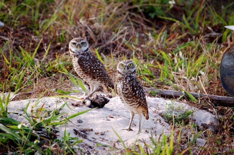 挖洞被联接的猫头鹰对 免版税图库摄影