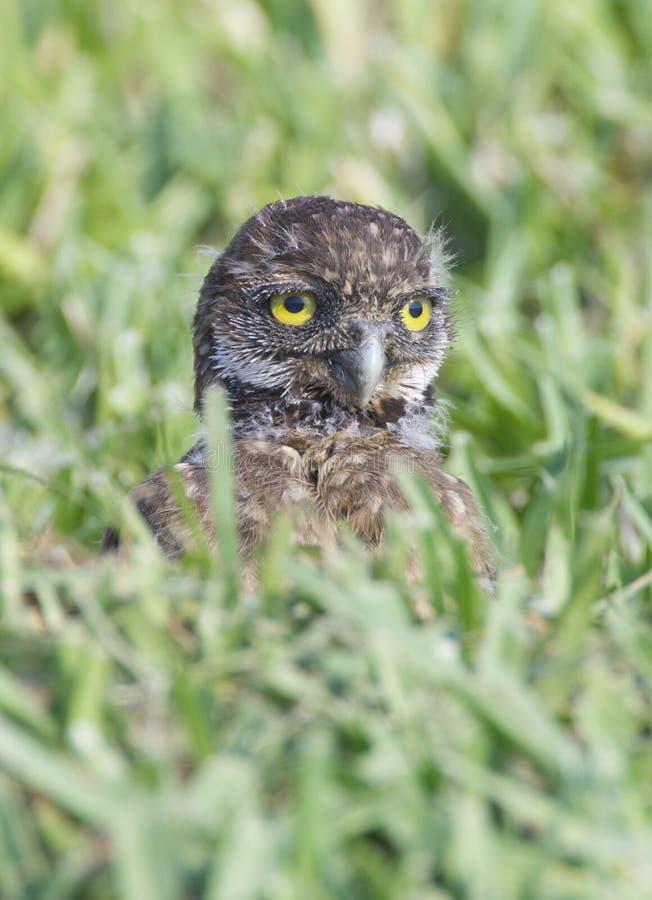 挖洞cunicularia猫头鹰的雅典娜 库存照片