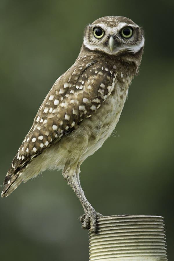 挖洞owl3 库存照片