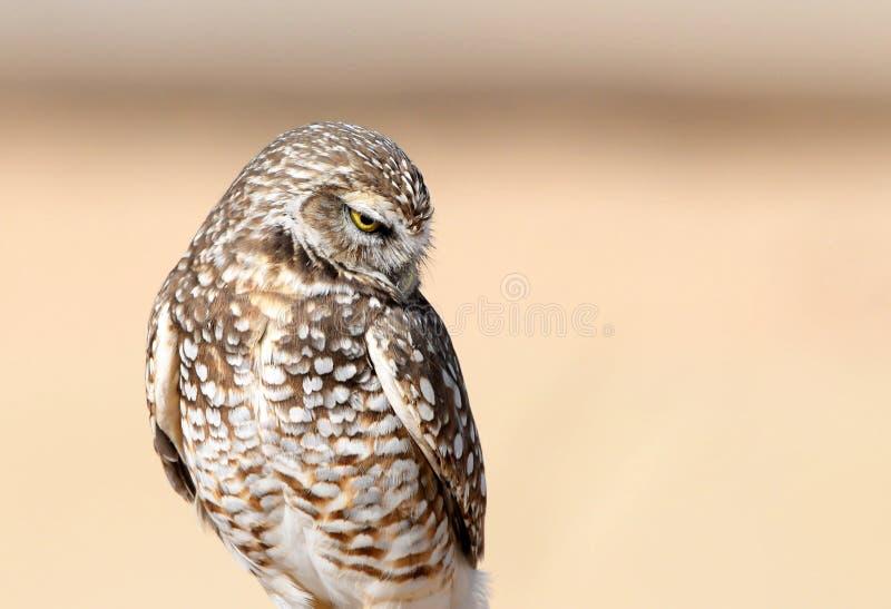 挖洞与害羞的神色的猫头鹰,美国 免版税库存照片