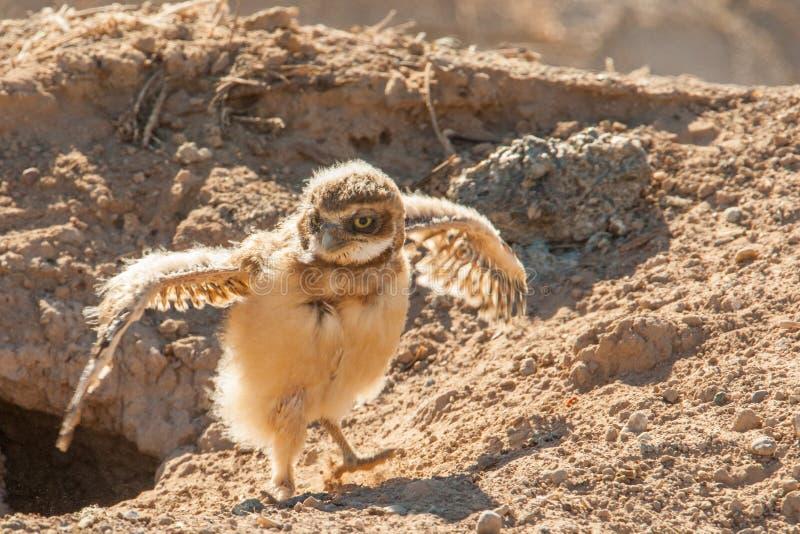 挖洞猫头鹰的婴孩 免版税库存图片