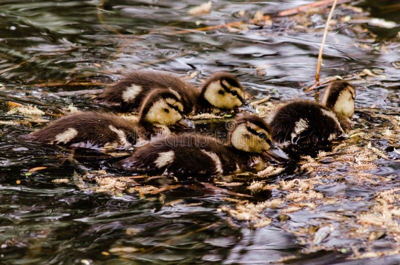 挤作了一团狼吞虎咽的四只野鸭鸭子在哺养的疯狂和一样多他们能 免版税库存图片