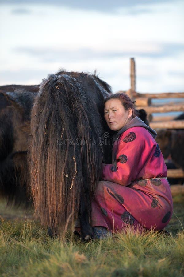 挤奶一头牦牛的蒙古妇女在北蒙古 免版税库存照片