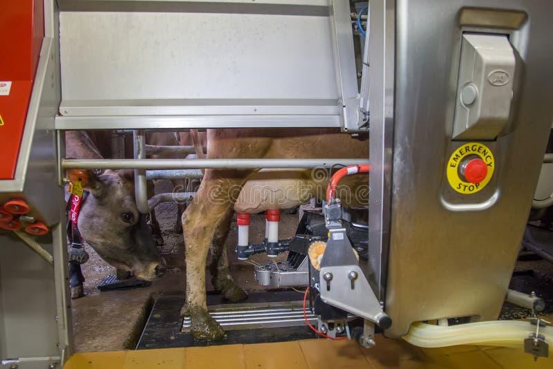 挤奶与充分地自动化的母牛挤奶机器人 免版税图库摄影
