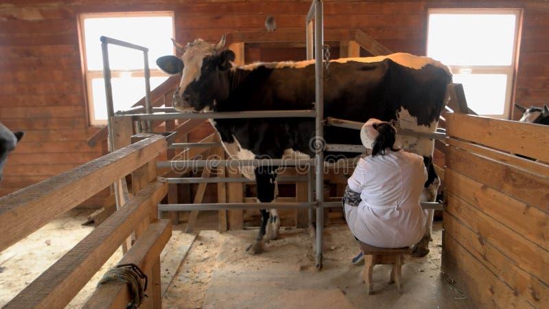 挤奶在现代农场的母牛过程 免版税图库摄影