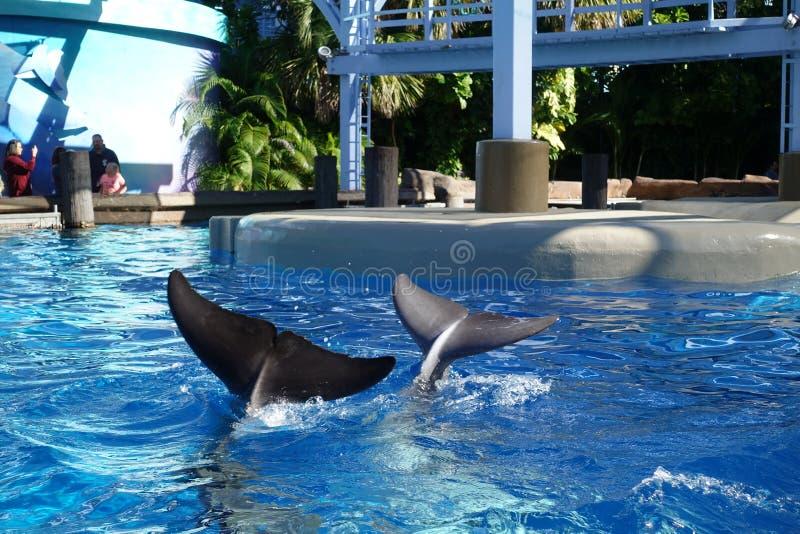 挥动他们的尾巴的海豚在游人 库存照片