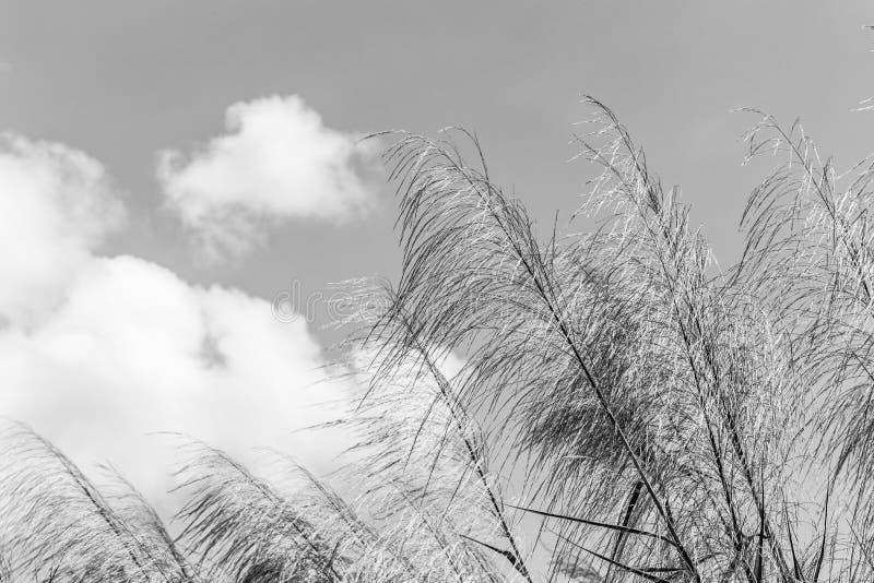 挥动在风的芦苇白色和黑 红色草 荻芦竹 伟大的芦苇 库存照片