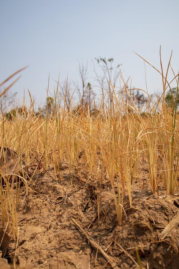挥动非常干燥和破裂的稻田的年轻粮食作物 库存照片