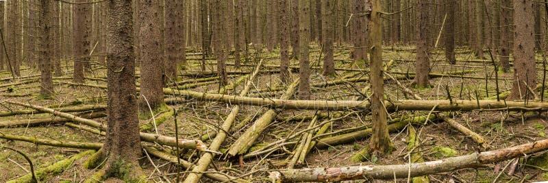 挪威云杉森林全景 库存照片