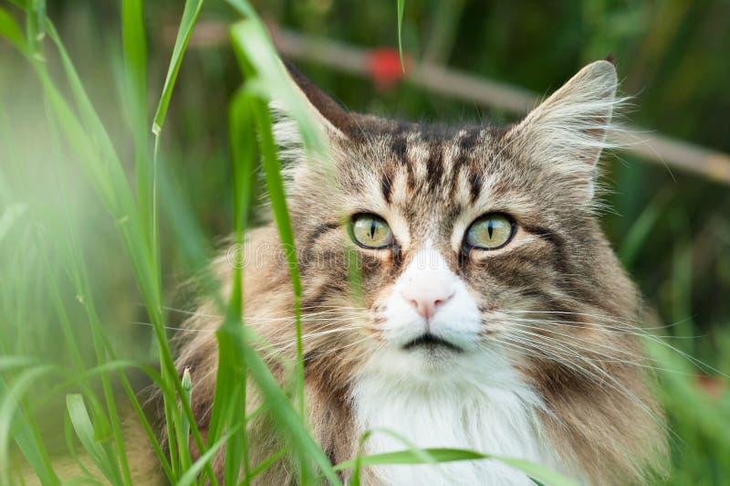 挪威森林猫的特写镜头到高草里 免版税库存图片