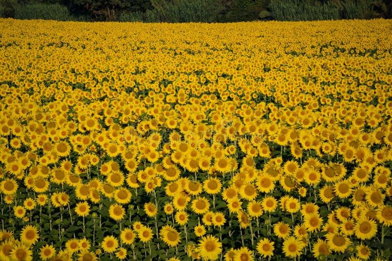 挺直向日葵的全磁场在托斯卡纳,意大利 免版税库存照片