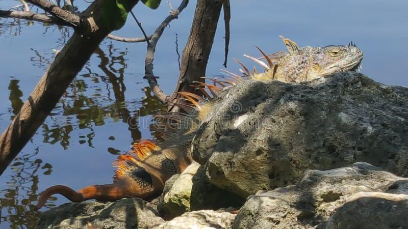 捉住一些太阳的鬣鳞蜥 免版税库存照片
