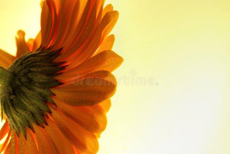 捉住光的明亮的橙色gerber雏菊 免版税图库摄影