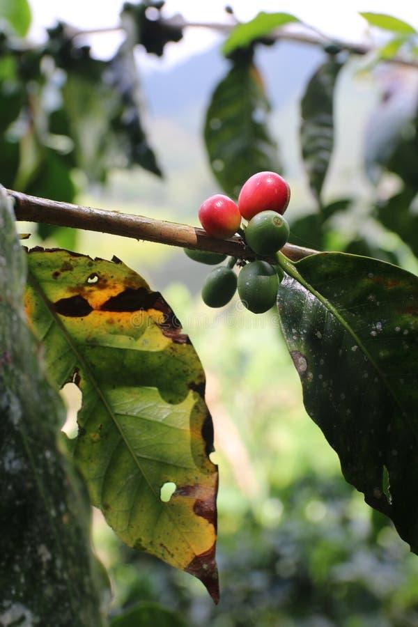 捉住小的太阳的红色和绿色咖啡樱桃 免版税库存照片