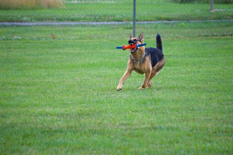 捉住玩具的德国牧羊犬 免版税库存图片
