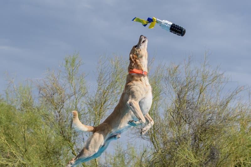 捉住玩具的黄色拉布拉多猎犬 库存图片