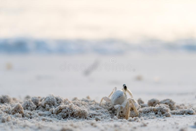 捉蟹在与迷离海滩的沙子在背景 库存照片