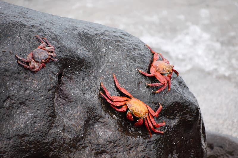 捉蟹红色岩石 库存图片