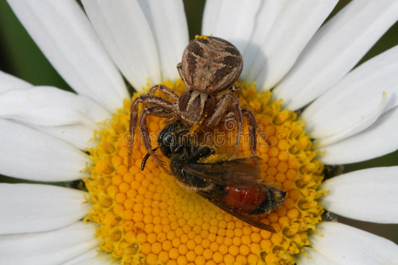 捉蟹蜘蛛与牺牲者的Xysticus cristatus在春白菊Leucanthemum vulgare花 免版税库存照片