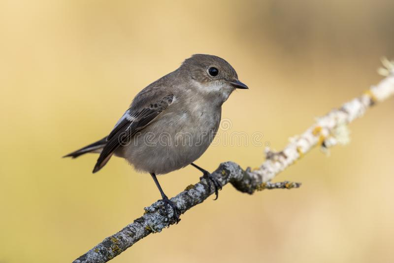 捕蝇器在它的与冬天全身羽毛的栖息处栖息的Ficedula hypoleuca 免版税库存照片
