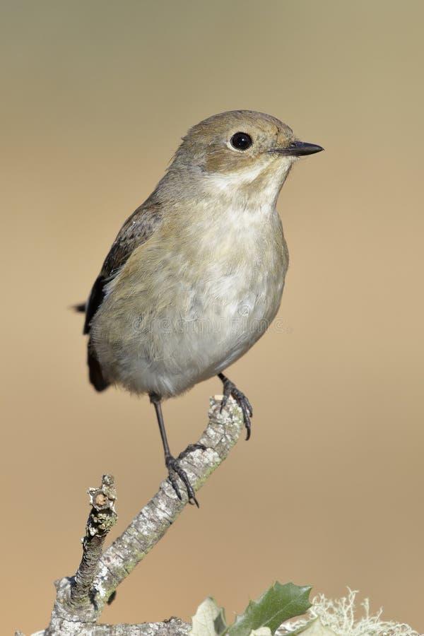 捕蝇器在它的与冬天全身羽毛的栖息处栖息的Ficedula hypoleuca 库存照片