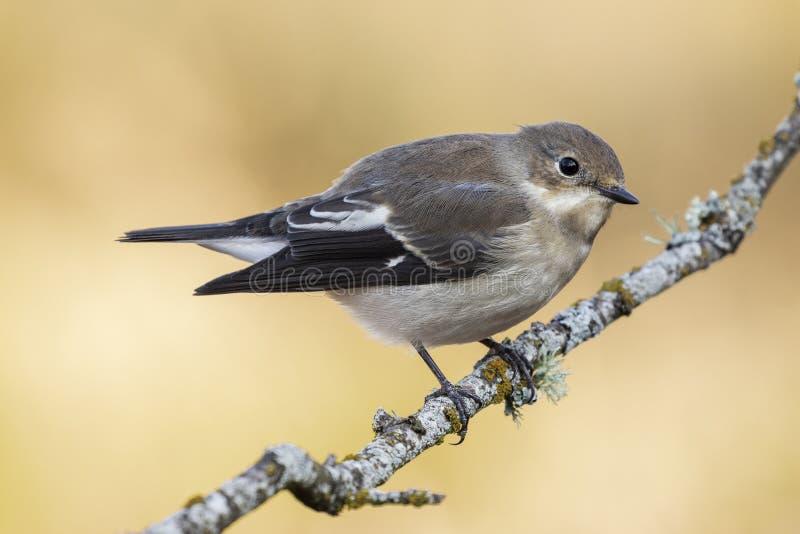 捕蝇器在它的与冬天全身羽毛的栖息处栖息的Ficedula hypoleuca 库存图片