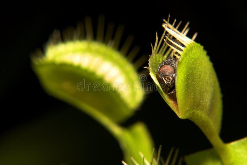 捕蝇器金星 免版税库存图片