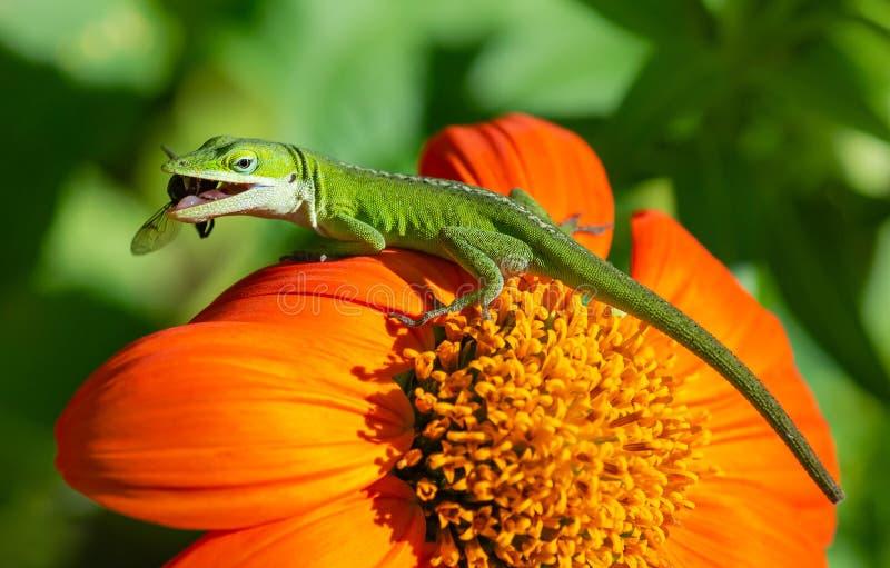 捕食在向日葵的绿色Anole蜥蜴 库存图片