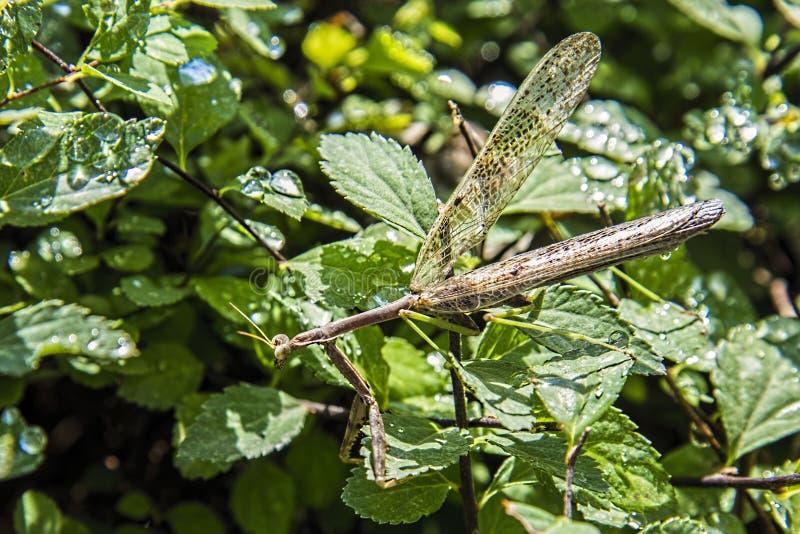 捕食的螳螂,拐杖 库存图片