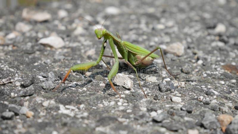 捕食的螳螂 库存照片