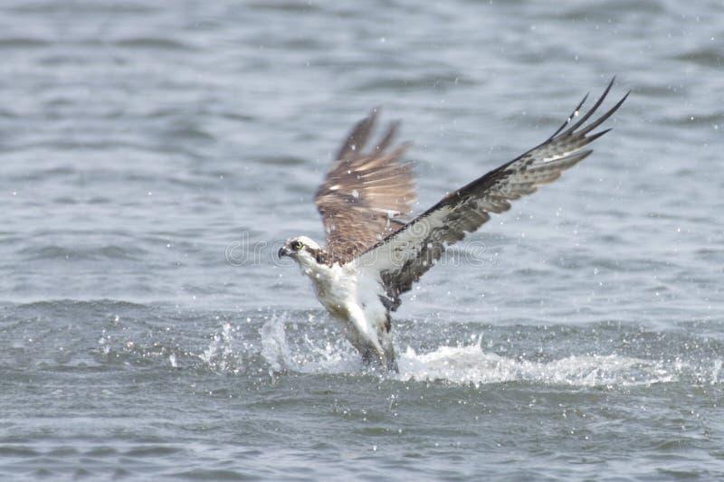 捕鱼海洋白鹭的羽毛 免版税库存图片