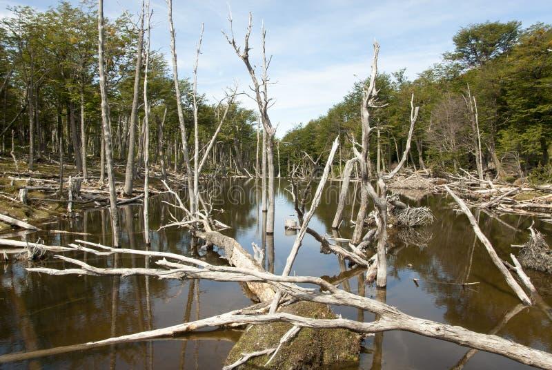 损坏的森林-阿根廷-乌斯怀亚-火地群岛 免版税库存照片