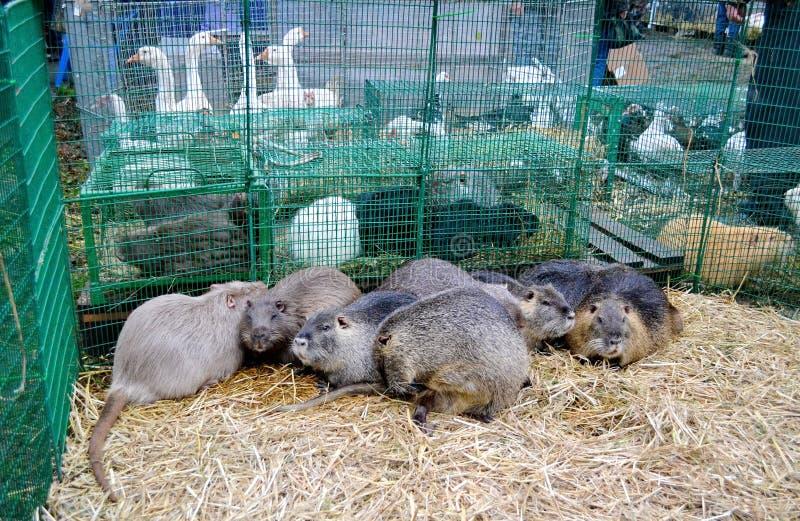 换一束nutrias在禽畜市场上 免版税库存图片