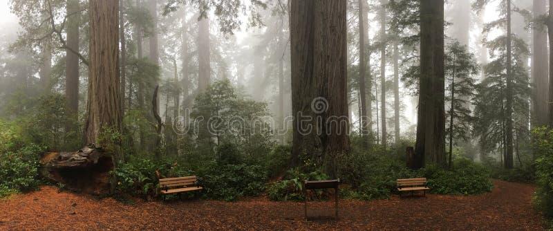 换下场在高红木树的脚在有薄雾的森林里 免版税库存图片