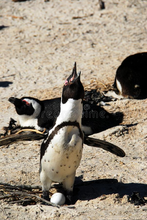 捣碎非洲的企鹅标记疆土,当趋向鸡蛋时 库存照片