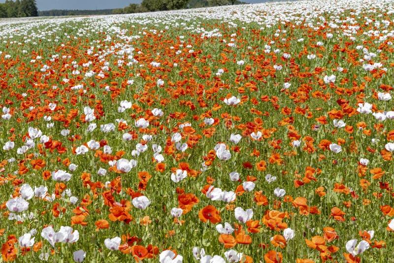 捷克共和国Zdar nad Sazavou附近的Vysoocina罂粟田 库存照片