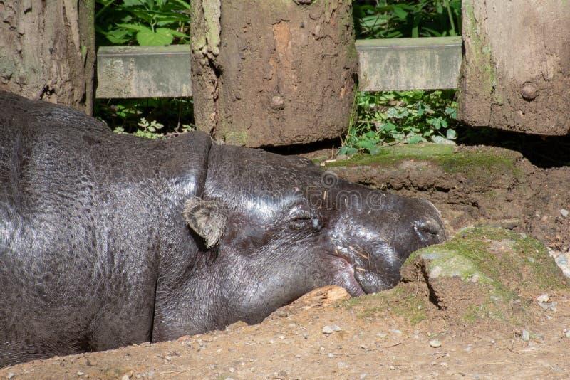 捷克奥洛穆克动物园的皮格米河马 库存图片
