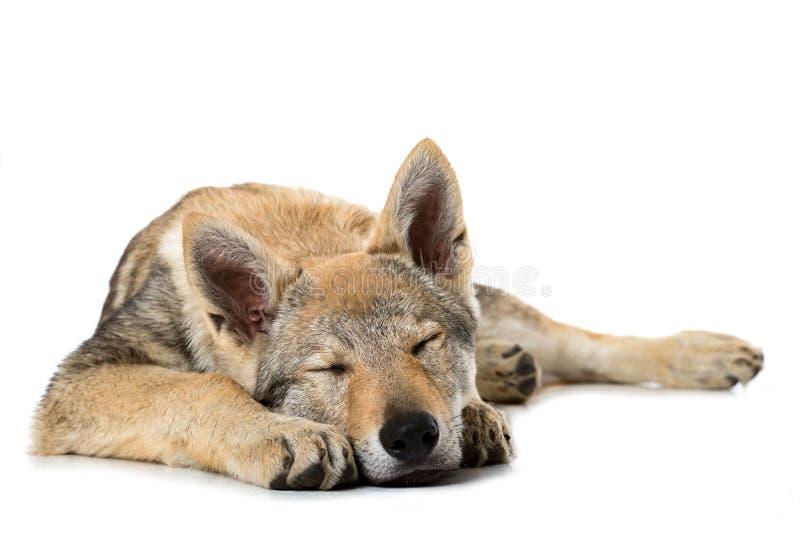 捷克斯洛伐克的wolfdog小狗 库存照片