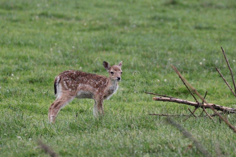 捷克鹿休耕猎物保护区rep 库存照片