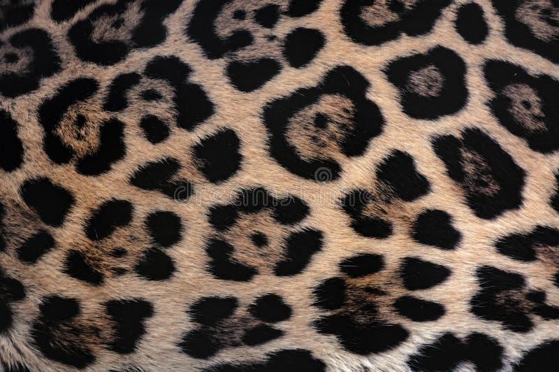 捷豹汽车毛皮与美丽的被察觉的伪装的纹理背景 库存照片