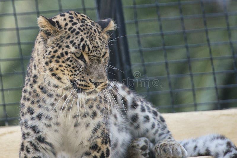 捷豹汽车豹子被隔绝的画象的Chetaa关闭 库存图片