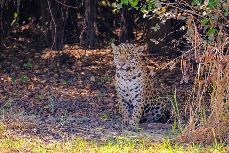 捷豹汽车,在河岸的豹属Onca,库亚巴河,波尔图Jofre,潘塔纳尔湿地Matogrossense,马托格罗索州,巴西 免版税图库摄影