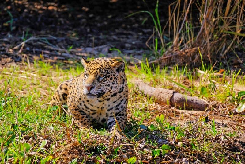 捷豹汽车,在河岸的豹属Onca,库亚巴河,波尔图Jofre,潘塔纳尔湿地Matogrossense,马托格罗索州,巴西 免版税库存照片