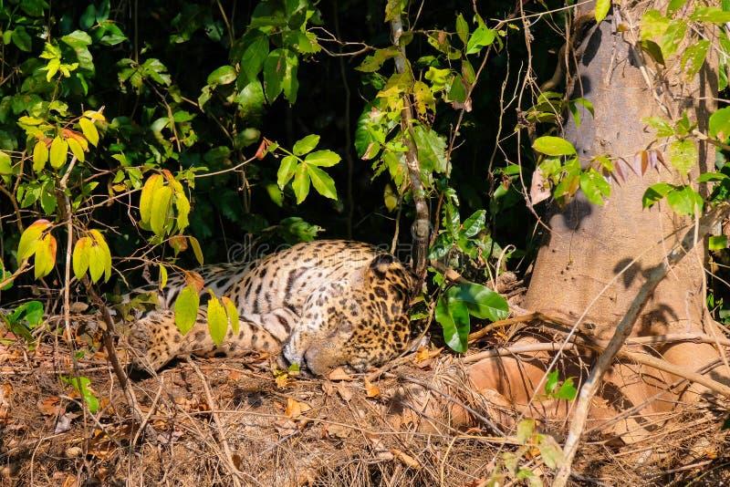 捷豹汽车,豹属Onca,基于河岸,库亚巴河,波尔图Jofre,潘塔纳尔湿地Matogrossense,马托格罗索州,巴西 库存照片