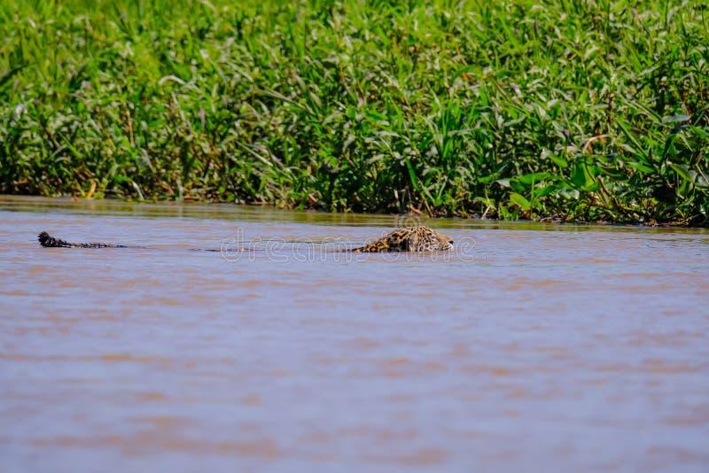 捷豹汽车,豹属Onca,女性,横跨库亚巴河,波尔图Jofre,潘塔纳尔湿地Matogrossense,潘塔纳尔湿地,巴西游泳 库存照片
