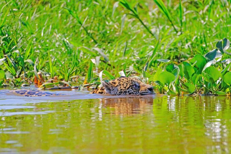 捷豹汽车,豹属Onca,女性,横跨库亚巴河,波尔图Jofre,潘塔纳尔湿地Matogrossense,潘塔纳尔湿地,巴西游泳 库存图片