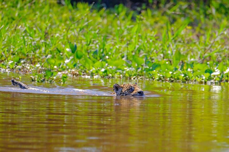 捷豹汽车,豹属Onca,女性,横跨库亚巴河,波尔图Jofre,潘塔纳尔湿地Matogrossense,潘塔纳尔湿地,巴西游泳 免版税库存照片
