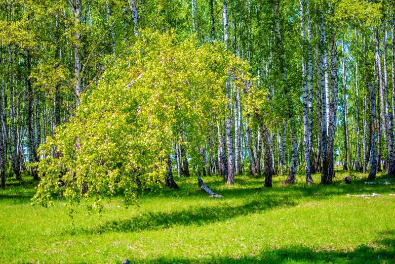 掀动了树对地面在桦树森林里  免版税库存图片